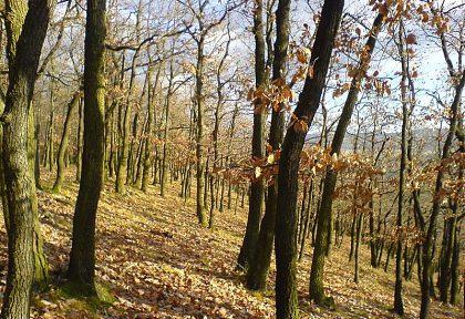dubovy les