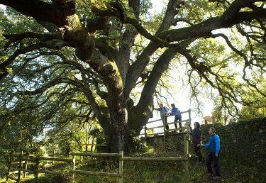 Titul Európsky strom roka pre španielsky tisícročný dub